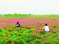 China's pilot crop rotation and fallow systems to facilitate green agriculture