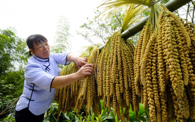 E-commerce contributes to income growth of Chinese farmers